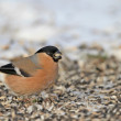 Eurasian Bullfinch — Stock Photo
