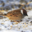 Sparrow in wintertime. Beautiful garden bird in Europe, incl. Denmark — Photo