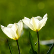 White tulips in natural light — Stock Photo