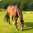 Brown horse on green field — Stock Photo