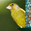 Carduelis chloris - Greenfinch. — Stock Photo