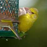 Carduelis chloris - Greenfinch. — Stock Photo