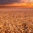 Sunset at the countryside - time for harvest - Stock Photo