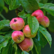 Apples in autumn — Stock Photo