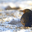 Female Blackbird — Photo