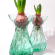 Hyacinth bulbs - winter and spring — Stock Photo #6548075