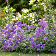 Stock Photo: Blue garden flowers