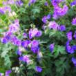 Blue garden flowers — Stock Photo