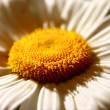 Sunshine flower — Stock Photo