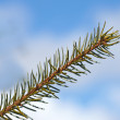 Spruce leaf — Stock Photo