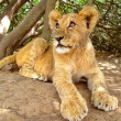 Baby lion in shade — Stock Photo #6548989