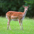 Wild deer - Stock fotografie