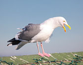 Huge Sea Gull — Stock Photo