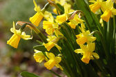 žluté narcisy — Stock fotografie