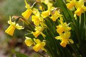 żółte żonkile — Zdjęcie stockowe