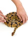 Person handling snake — Stock Photo