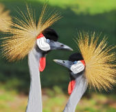 African Grey Crowned Crane — Stock Photo