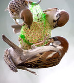 Hungry sparrows — Stock Photo