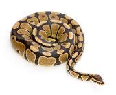 Snake photo — Stock Photo