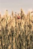 Crops — Stock Photo