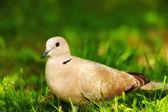 горлица, ходить на траве — Стоковое фото