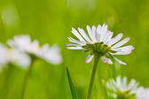 Telephoto of white daisies and green grass — Stock Photo