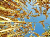 Time for harvest — Stockfoto