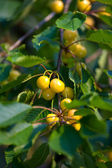 Sweet cherries hanging on a tree — Stock Photo