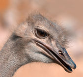 Funny ostrich - extremely sharp and detailed. — Stock Photo