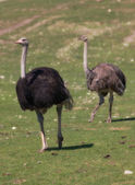Funny ostrich - extremely sharp and detailed — Stock Photo