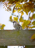 Baby sparrow on a fence — Stock Photo