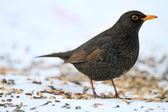 Beautiful blackbird — Stock Photo