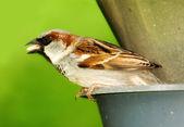 Sparrow na slunci — Stock fotografie