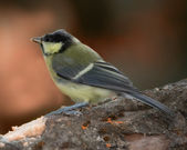 The Great Tit - the forest in autumn. Saturated colors. — Stock Photo