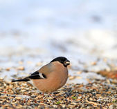 Eurasian Bullfinch - Pyrrhula pyrrhula. Beautiful garden bird in Europe — Stock Photo