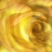 Yellow roses on top of one another — Stock Photo