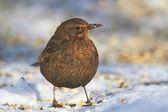 ženské blackbird — Stock fotografie