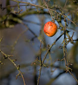 A macro photo of an apple outdoor in wintertime — Stock Photo