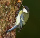 A telephoto of the Great Tit — Stock Photo