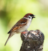 Young garden sparrow in the garden — Stock Photo
