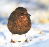Kvinnliga blackbird vintertid i trädgården — Stockfoto
