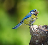 Garden bird in huge parts of Northern Europe — Stock Photo
