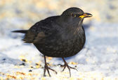Male Blackbird in wintertime in the garden — Stockfoto