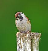 Telephoto of a sparrow — Stock Photo