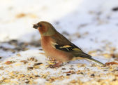 Chaffinch. Beautiful garden bird in Europe, incl — Stock Photo