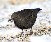 Bahçedeki erkek kara kışın kuş — Stok fotoğraf