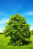 árbol verde solitario — Foto de Stock