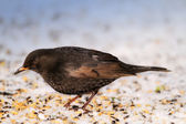 Hungry balckbird in wintertime - snow and cold weather — Stock Photo