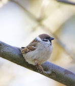 A telephoto of a garden sparrow sitting in a tree in early springtime. — Stock Photo