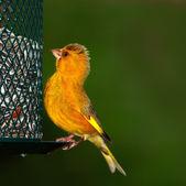 Carduelis chloris - Verdilhão. belo pássaro jardim na Europa, denm incl — Fotografia Stock